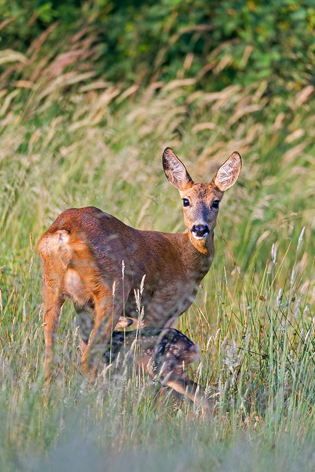 Waehrend die Ricke angespannt sichert wird das Kitz gesaeugt, Capreolus capreolus, While the Roe Deer doe looks attentively the fawn is nursed