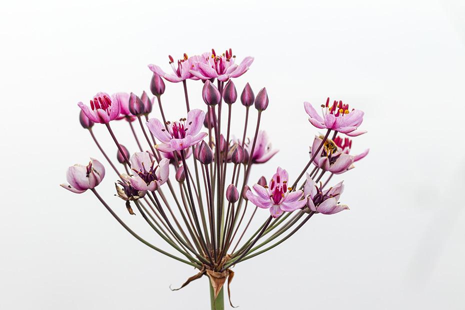 schwanenblume hat rosafarbige blueten blumenbinse foto schwanenblume bluetendolde butomus. Black Bedroom Furniture Sets. Home Design Ideas