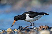 Ein Austernfischer im Jugendkleid sucht am Spuelsaum nach Nahrung, Haematopus ostralegus, An Eurasian Oystercatcher in juvenile plumage looks for food at the wash margin