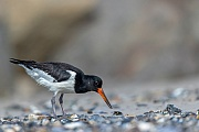 Der diesjaehrige Austernfischer ist ein aeusserst erfolgreicher Miesmuscheljaeger, wenige Sekunden nach dem Fang sind die Muschelschalen geoeffnet und das Innere verschwindet im Schnabel, Haematopus ostralegus, The fledged Eurasian Oystercatcher is a very successful mussel hunter, a few seconds after the catch, the mussel shells are open and the inside disappears in the beak