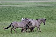 Heck Horse stallions fight playful about the ranking - (Tarpan - breed back)