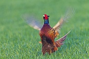 Fasane wurden in vielen Teilen der Welt als Jagdwild eingebuergert  -  (Jagdfasan - Foto Fasanhahn waehrend der Balz), Phasianus colchicus, Common Pheasant is introduced worldwide as a game bird  -  (Pheasant - Photo Common Pheasant cock during the courtship)