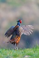 Fasane sind Standvoegel und koennen das ganze Jahr beobachtet werden  -  (Jagdfasan - Foto balzender Fasanhahn), Phasianus colchicus, Common Pheasant is present all year  -  (Pheasant - Photo Common Pheasant cock mating)
