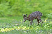 Das frische Gruen hat es dem Rehbock sichtlich angetan, Capreolus capreolus, The Roebuck is visibly impressed by the fresh green