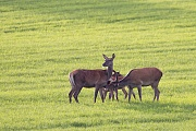 Red Deer, the herds are led by a hind which all herd members follow, for example, in the event of a change of location or imminent danger  -  (Photo Red Deer hinds and calves)
