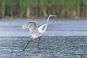Great Egret, adults have a white plumage with a yellow bill  -  (Common Egret - Photo Great Egret hunts for fish with open wings)